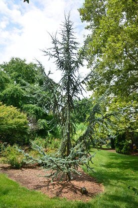 Image of Blue Atlas Cedar