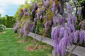 Image of Wisteria