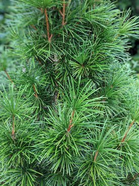 Image of Japanese Umbrella Pine