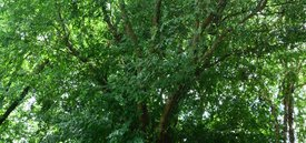 Image of Chinese Elm