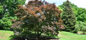 Image of Bloodgood Japanese Maple