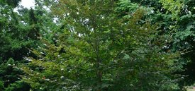 Image of Copper Beech