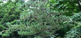 Image of Japanese White Pine