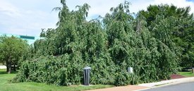Image of Weeping European Beech