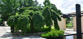 Image of Camperdown Elm