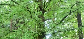 Image of Bald Cypress