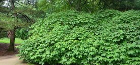 Image of Bottlebrush Buckeye