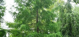 Image of Common Larch