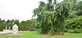 Image of Weeping White Pine