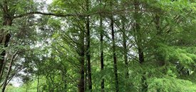 Image of Deciduous Conifer Collection