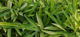 Image of Dwarf Green Stripe Bamboo