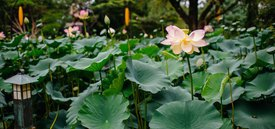 Image of Lotus Pond