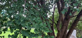 Image of Gingko