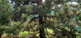 Image of Japanese Black Pine