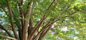 Image of Japanese Zelkova