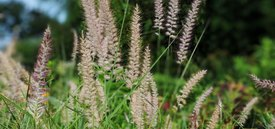 Image of Maiden Grass