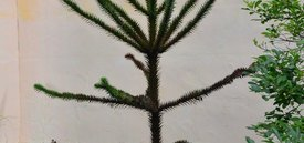 Image of Monkey Puzzle Tree