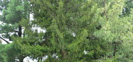 Image of Oriental Spruce