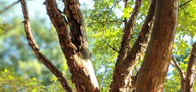 Image of Paperbark Maple
