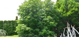 Image of Red Horsechestnut