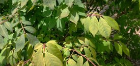 Image of Red Twig Dogwood