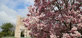 Image of Saucer Magnolia Tree