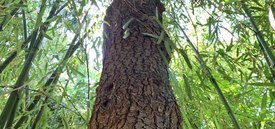 Image of Scotch Pine