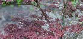 Image of Skeeter's Broom Japanese Maple