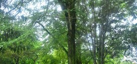 Image of Thorned Honey Locust
