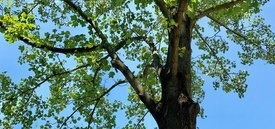 Image of Tulip Tree