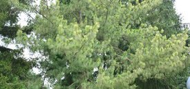 Image of Variegated Himalayan Pine