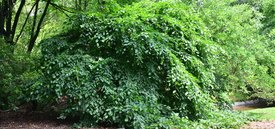 Image of Weeping European Hornbeam