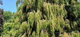 Image of Weeping Needle Juniper