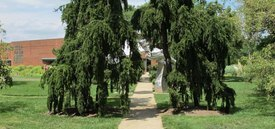 Image of Weeping Norway Spruce
