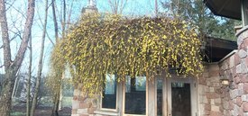 Image of Winter Jasmine