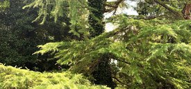 Image of Golden Deodar Cedar