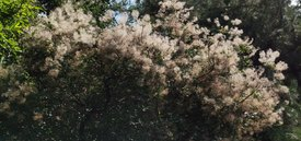 Image of Smoke Bush